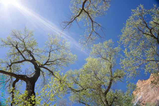 Cottonwoods in Zion Canyon had just budded.